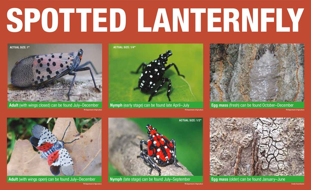 Spotted Lanterfly lifecycle